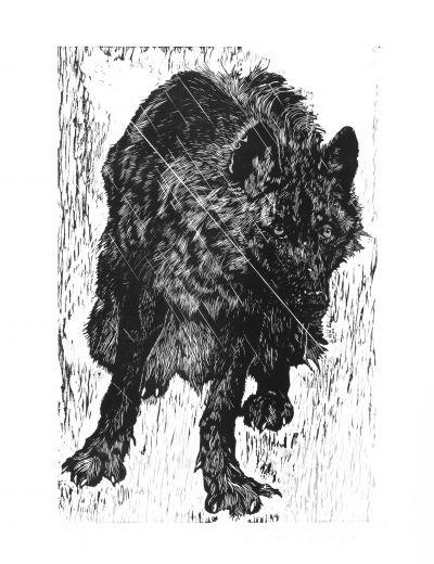 loup Timberwolf adolescent.jpg