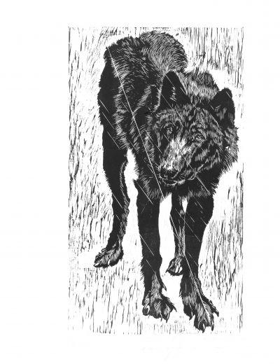 louve Timberwolf adolescente.jpg